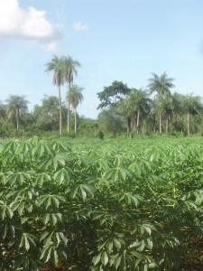 The newest mandioca/yuca/cassava crop being towered over the coconut trees.