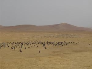 Group of birds in the desert of Paracas National Reserve in Peru.
