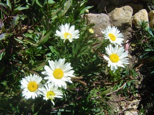Wild flowers on Isla del Sol.