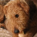 Jackson Airedale Terrier with bone. Photo by Dylan De'Arman