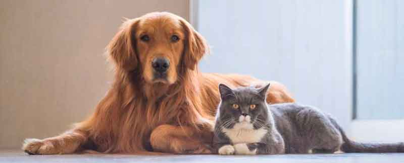 Golden Retriever with gray cat. Picture from Pet Rx Direct blog
