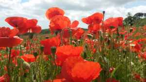 Poppies at Heligan