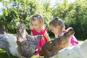 Feeding the hens at Tredethick