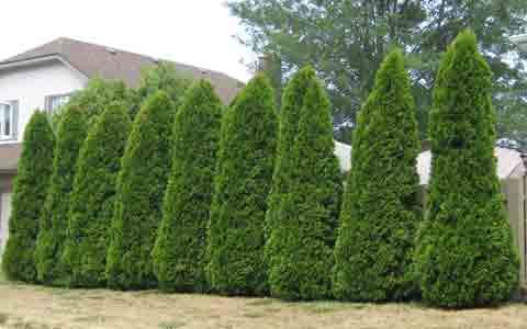Row of Emerald Cedar Trees