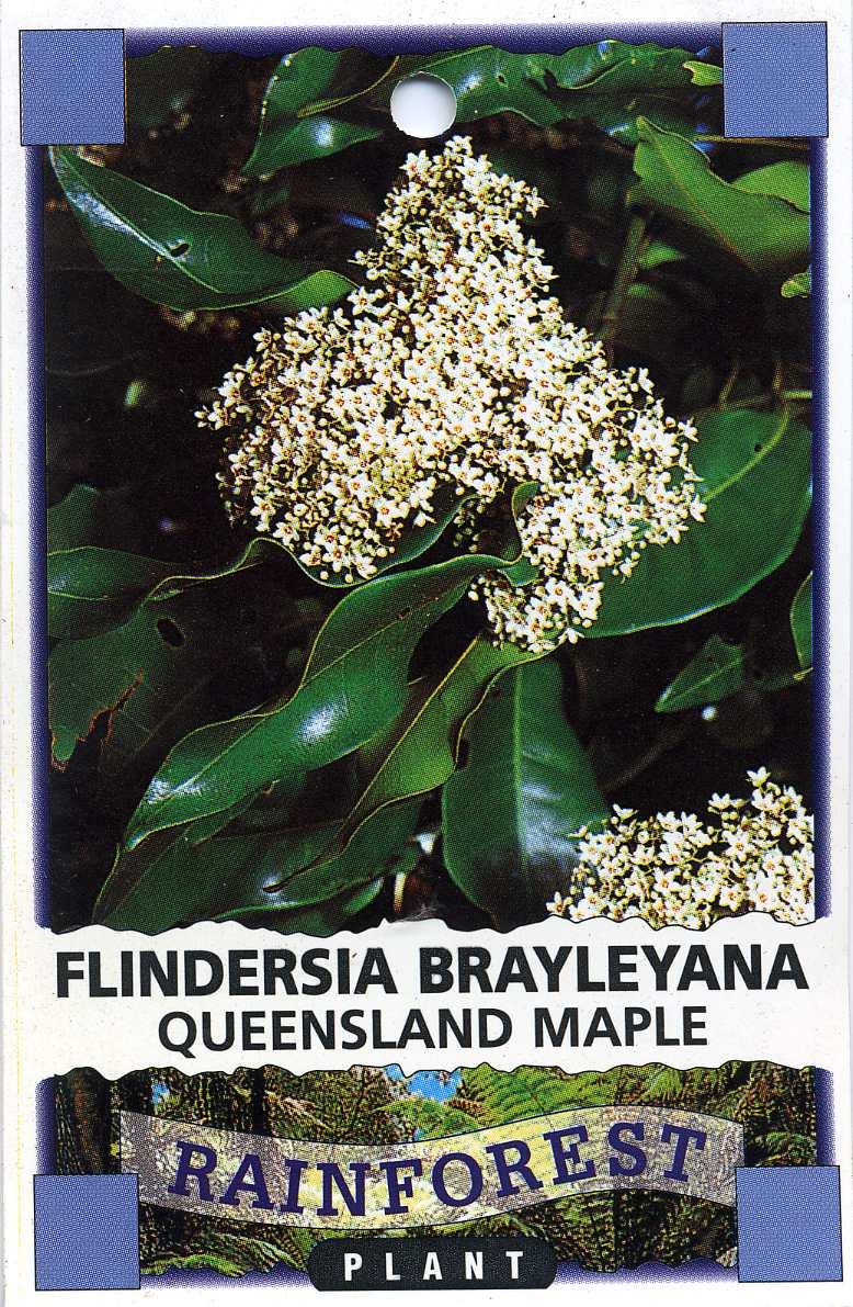 Queensland Maple Flindersia Brayleyana