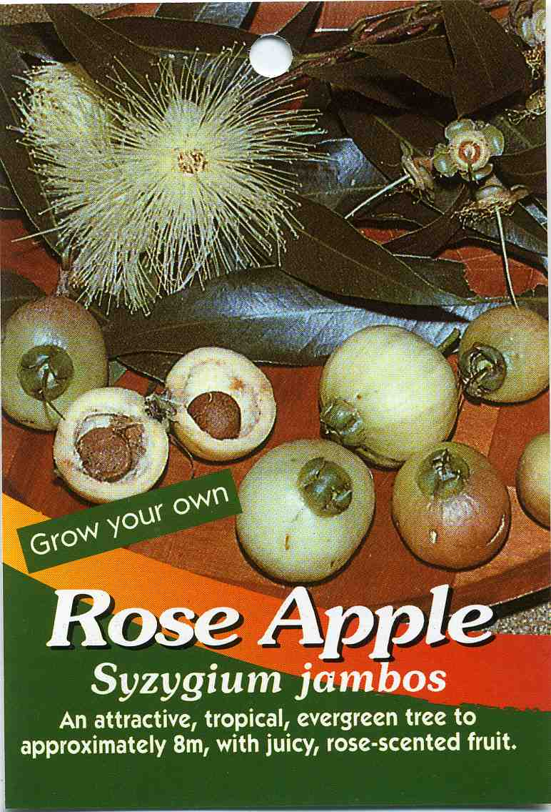 Rose Apple Syzygium Jambos Buy Rose Apple An Attractive