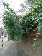 Brendan Tree Feller - Ivy Clearance Job - the Park, Nottingham - Photo 02 - before
