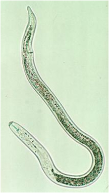 Image result for lesion nematode