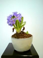 Blue Primula open2
