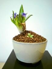 Blue Primula4
