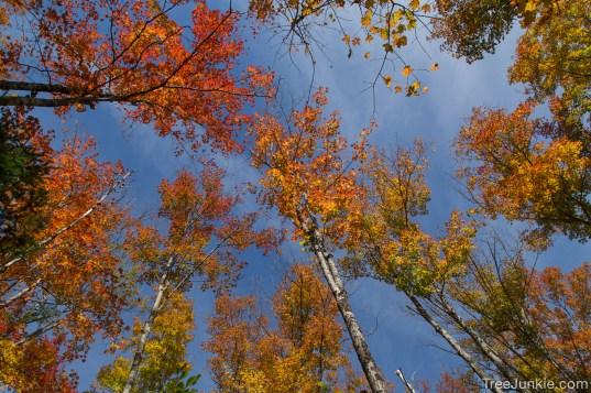 Maple Sky