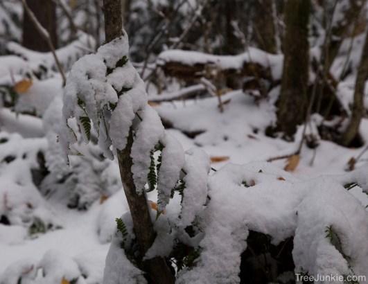 Snow Fern