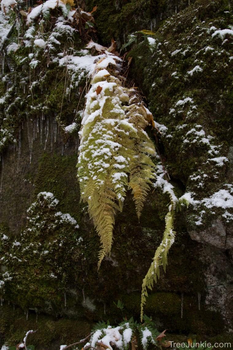 Snow on Fern