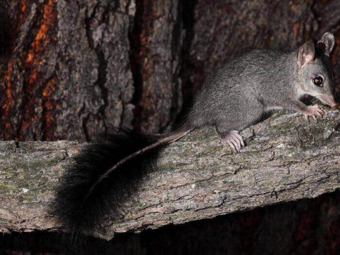 tree removal rescue brush-tailed phascogale