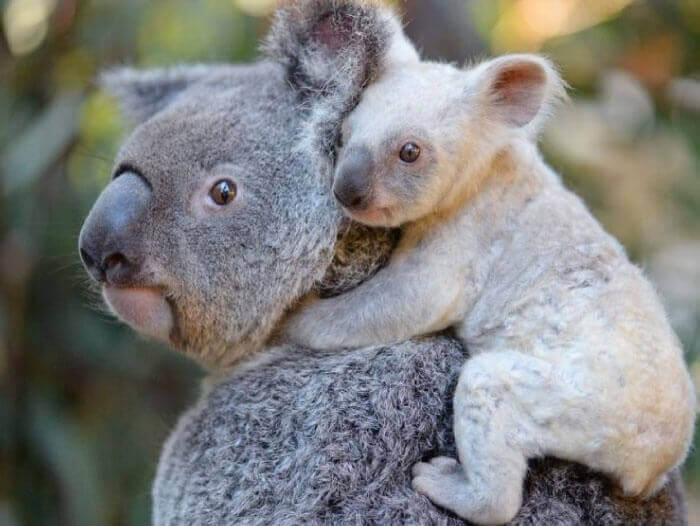 tree removal rescue mother koala and baby