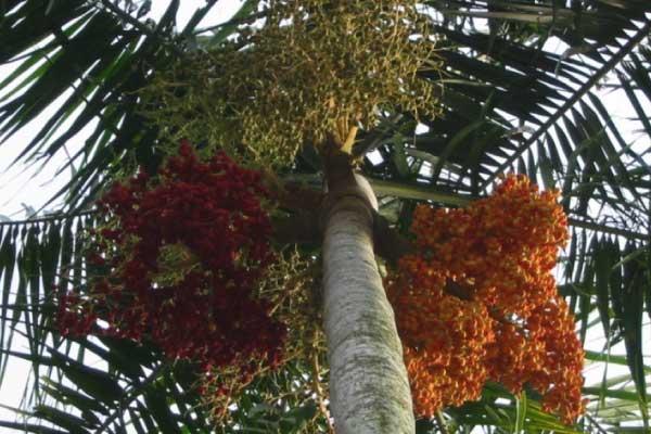palm tree seed identification brisbane