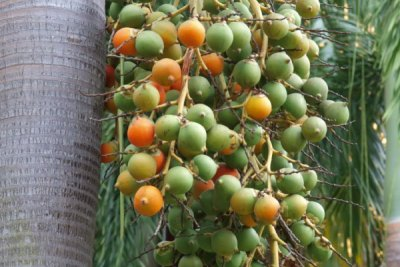 foxtail-palm-tree-brisbane-ipswich