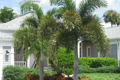 foxtail-palm-tree-brisbane-southside