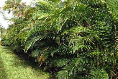 golden-cane-palm-tree-removal-brisbane