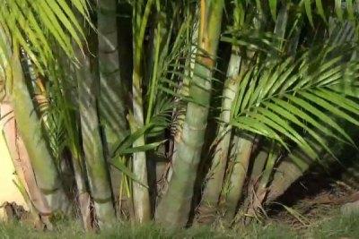 golden-cane-palm-tree