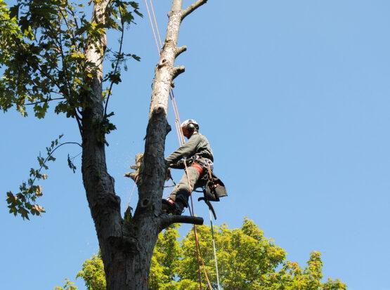 tree cutting Norton ma
