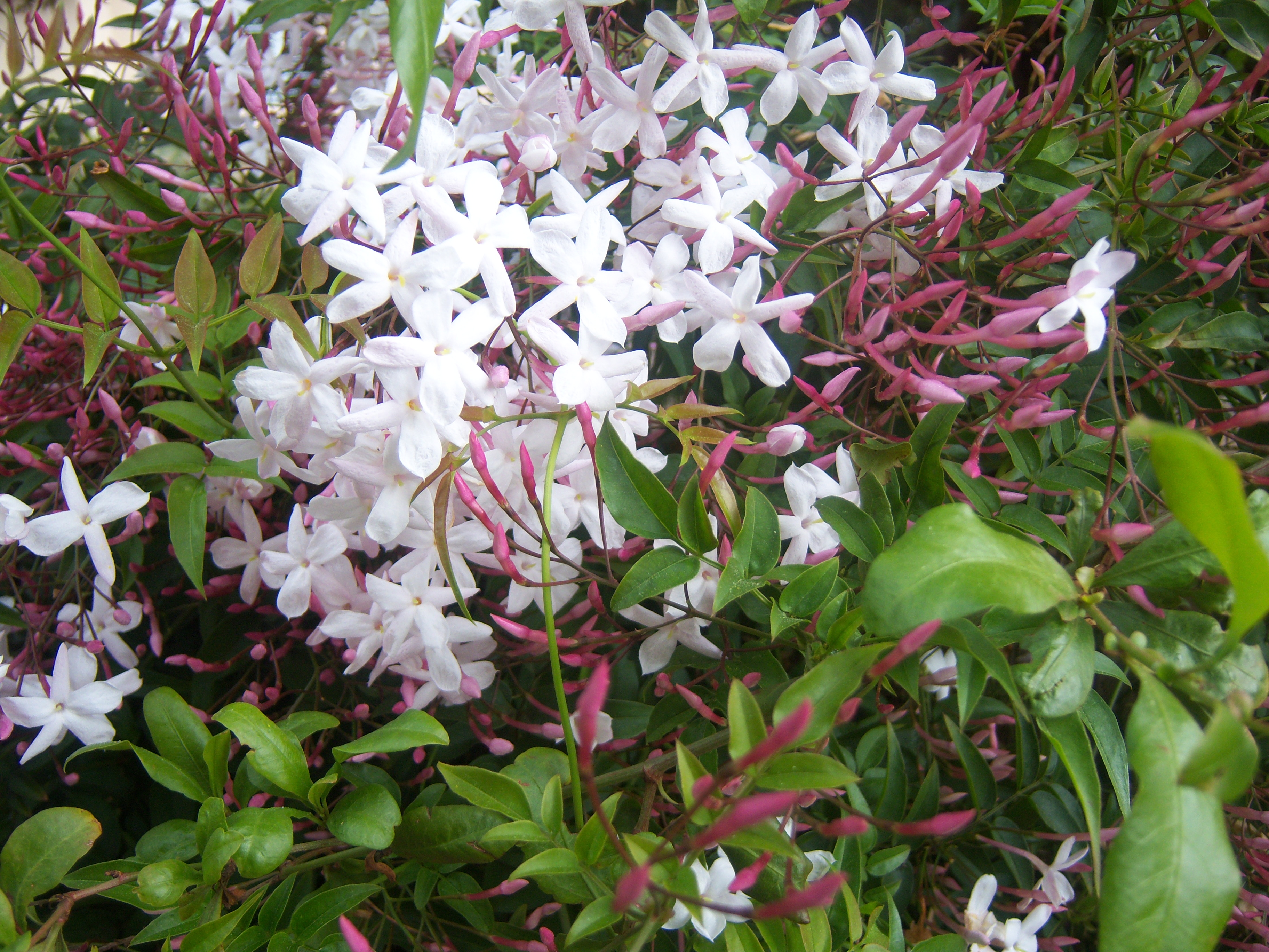 Star Jasmine - can you smell it?