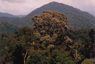 A dipterocarp tree (Shorea curtisii)
