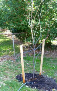 Young tree with stakes on both sides, newly planted
