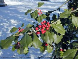 A hollytree with its red berries is easily identified by humans and birds when the ground is covered in snow.