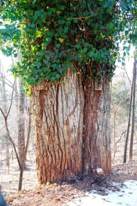Note the thick vines on trunk.  The top leaves will die and fall off. Photo by T Maywalt