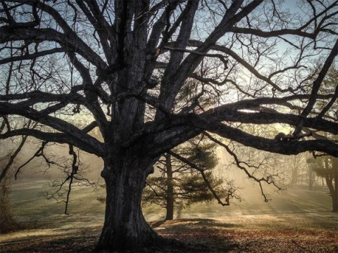 White Oak on historic Reevesland property in Arlington.  Photo by Dennis Dimick