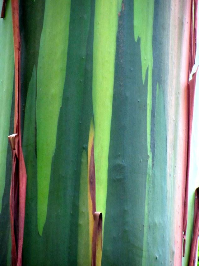 bark of Eucalyptus deglupta