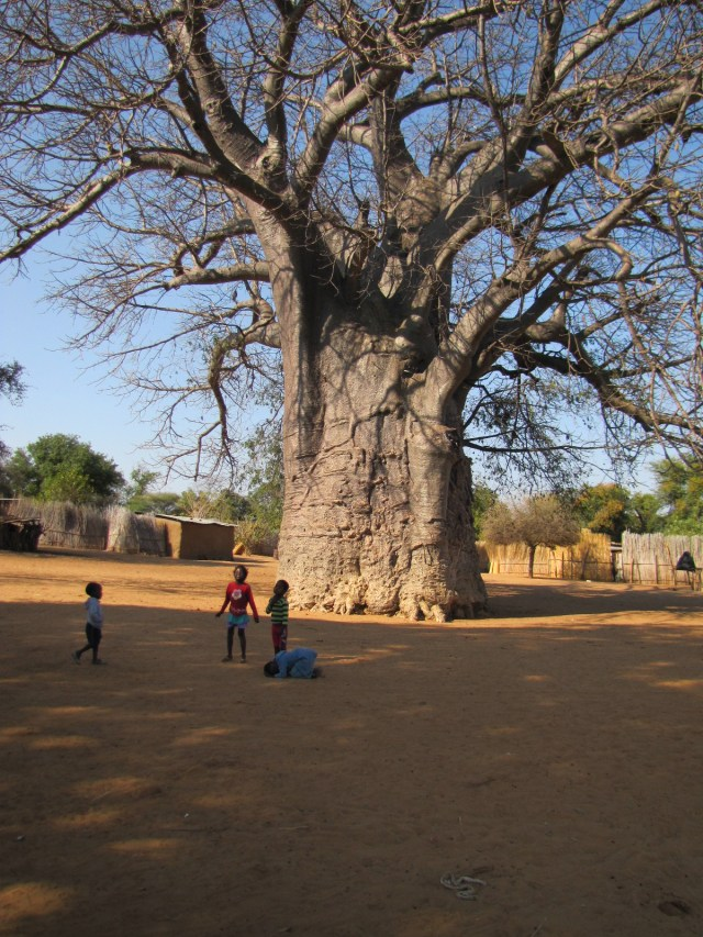 Children playing in the shade of giant Baobab tree