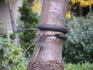 wire cutting into tree trunk