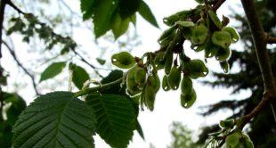 Fruit of American elm.