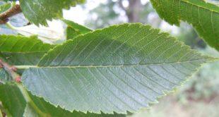 American elm leaf.