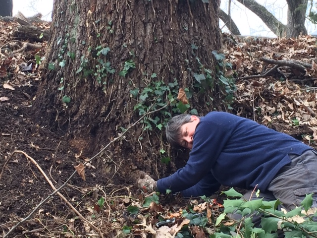 Photo by Tree Steward Jane Seward. Tree Steward Bonnie Petry shows how ivy needs to be pulled away from the base of a tree's trunk to keep it from growing up the trunk again.