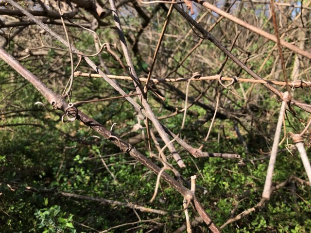 Porcelainberry's wiry tendrils dig into tree bark as the vine climbs.