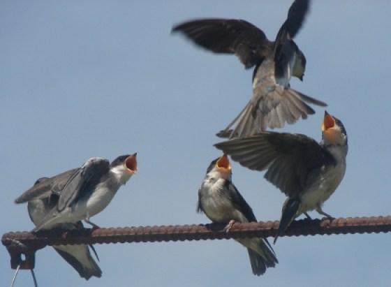 group of fledged juveniles begging parent for food