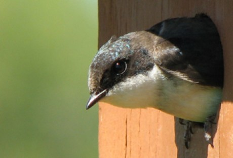Female tree swallow peeks out box entrance