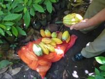 Pochotas conteniendo la semilla de Cacao