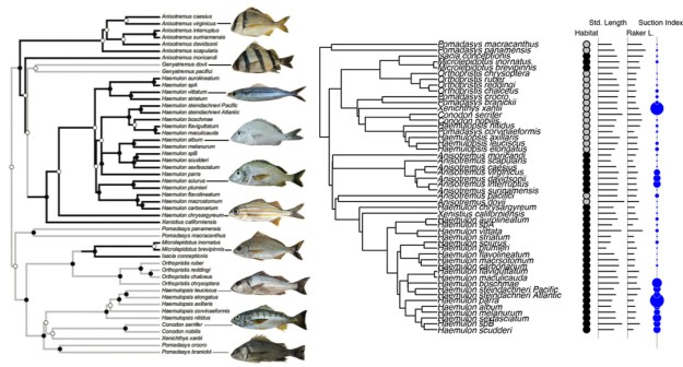 The figure to the left is from Price et al. (2012) and illustrates reef specialization in haemulid fish. The figure on the right will be generated from the same data using this tutorial.