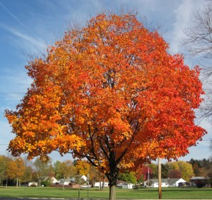 A Sugar Maple Tree