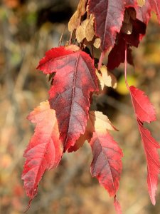 An Amur Maple Tree