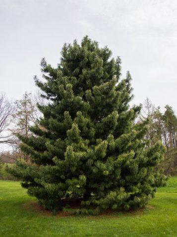 Korean Pine | Attribution: F.D. Richards