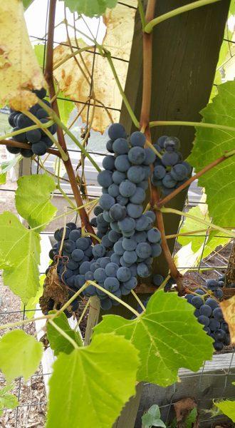 Valiant Grape