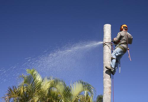 Arborist removing a palm tree
