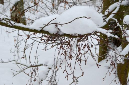 Fragrant birch