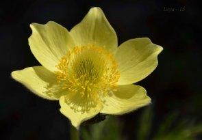Anemona alpina