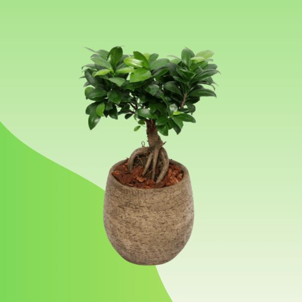 buy bonsai online bd